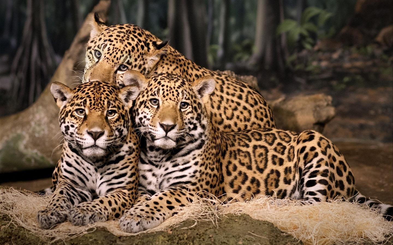 top hd leopard image