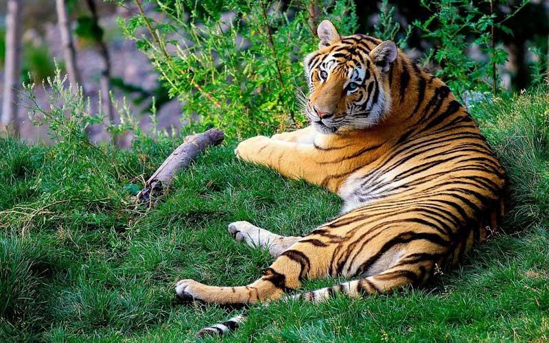 awesome bengal tiger image