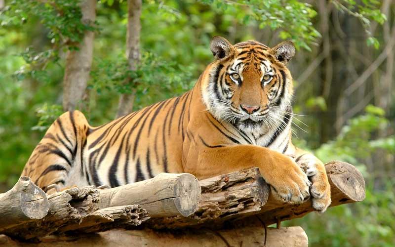 best bengal tiger images