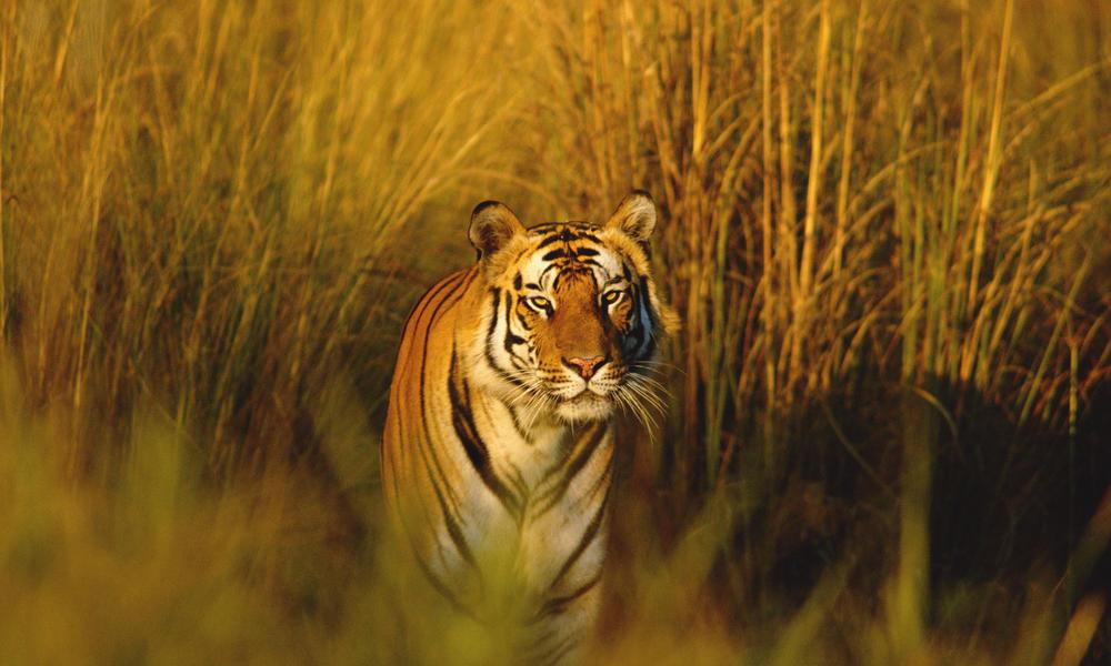 dark brown bengal tiger image