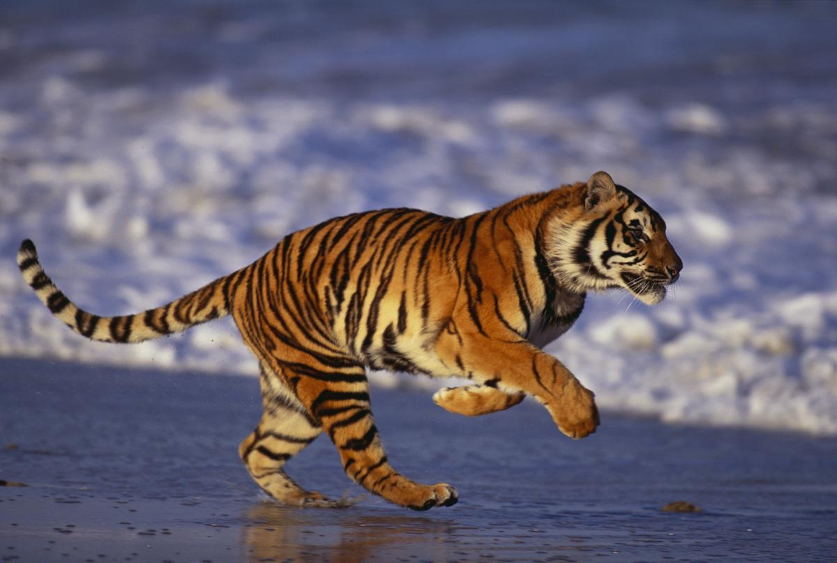 running bengal tiger image