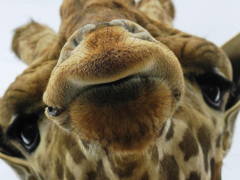 top hd giraffe image