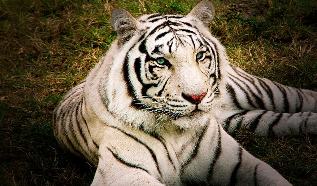 white bengal tiger image