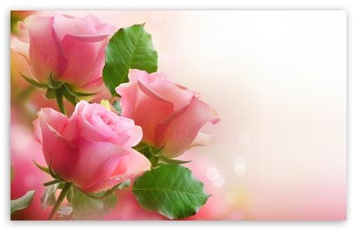 free HD Pink Rose