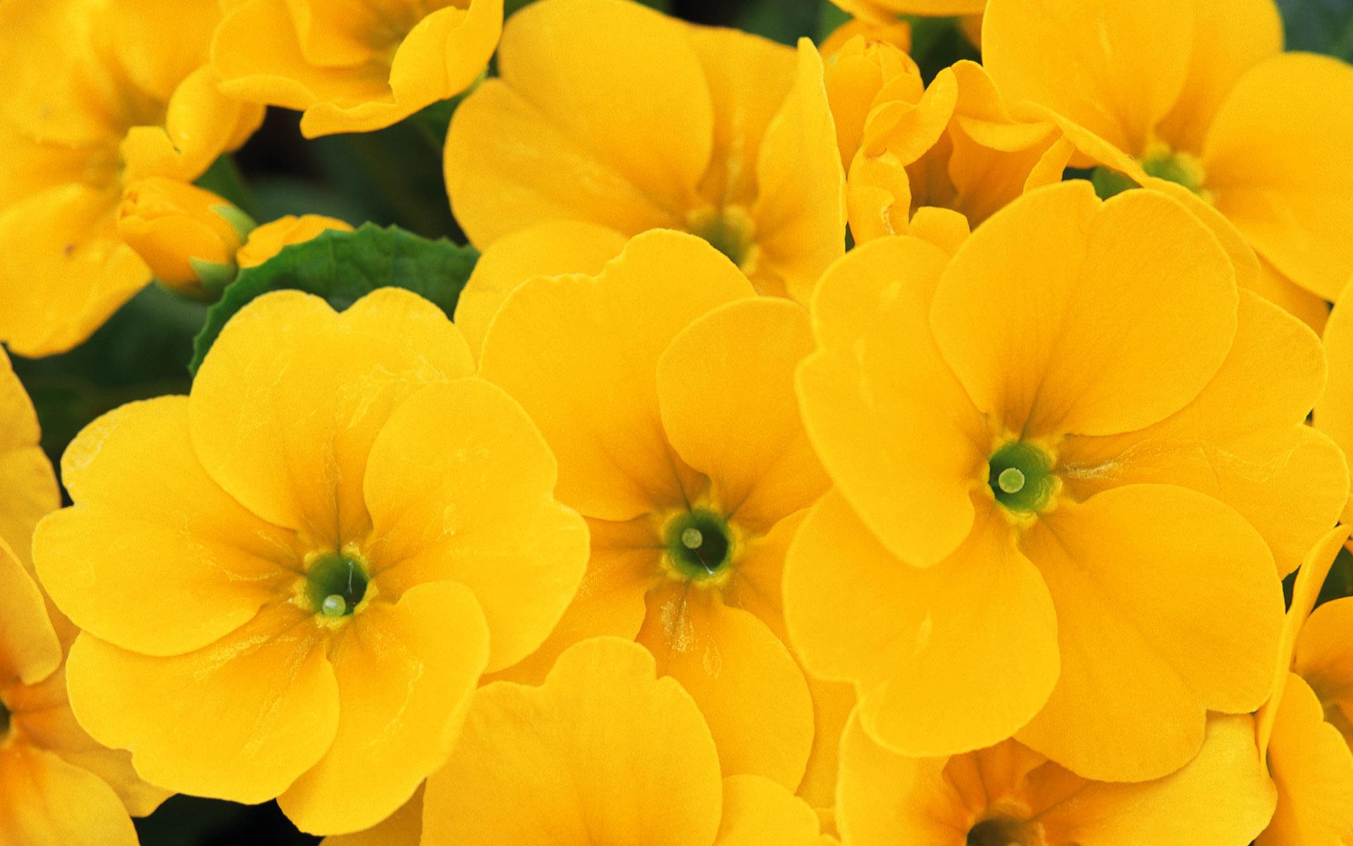 Yellow Flowers Wallpaper Beautiful Yellow Flowers Wallpaper 30576