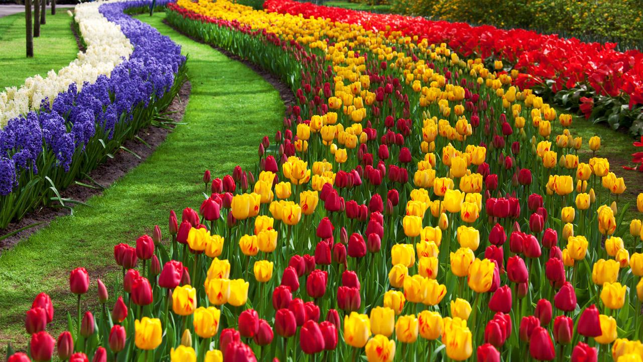 best Tulip Garden Images