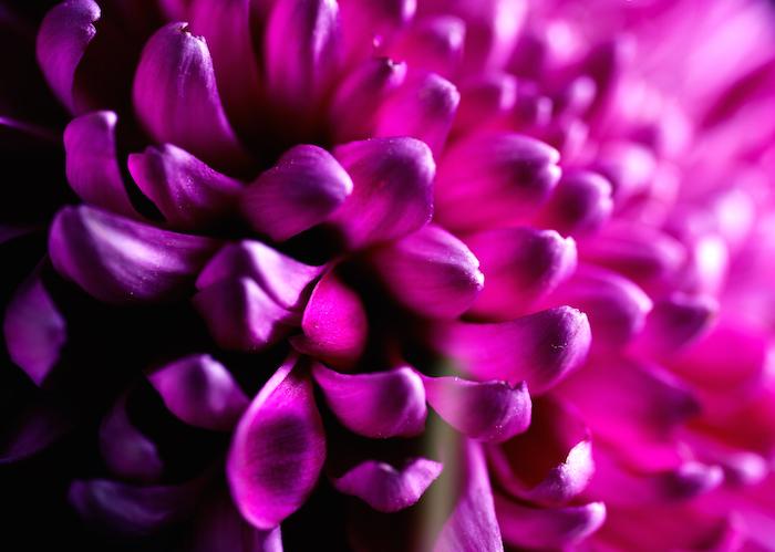 dark purple Dahlia Flower Images