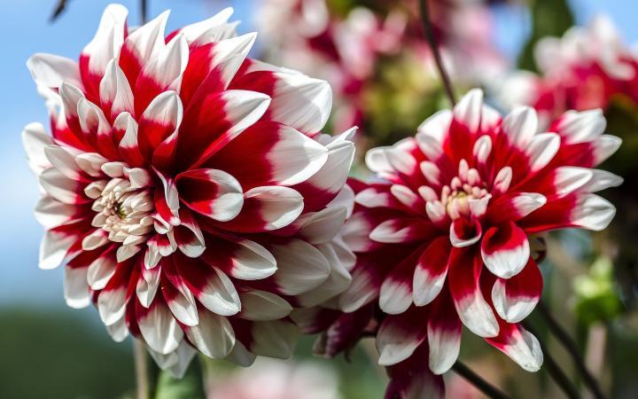 nature Dahlia Flower Images