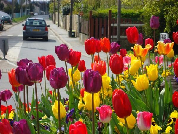 top hd Tulip Garden Images