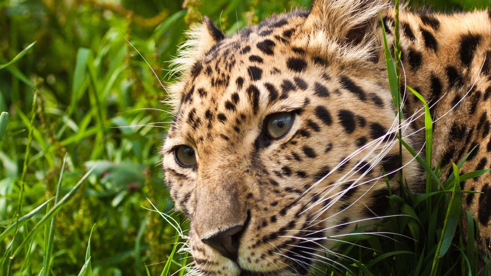 muzzle eyes HD Leopard Wallpaper