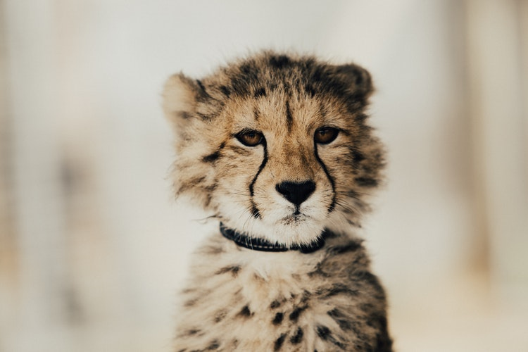 free Baby Cheetah Images