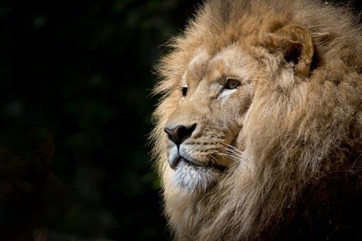 lion wild africa
