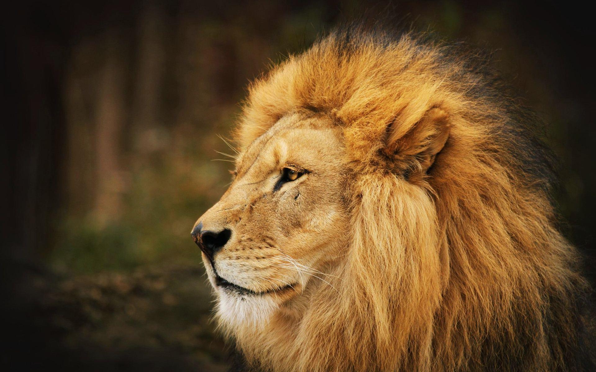 top hd Lion Wallpaper