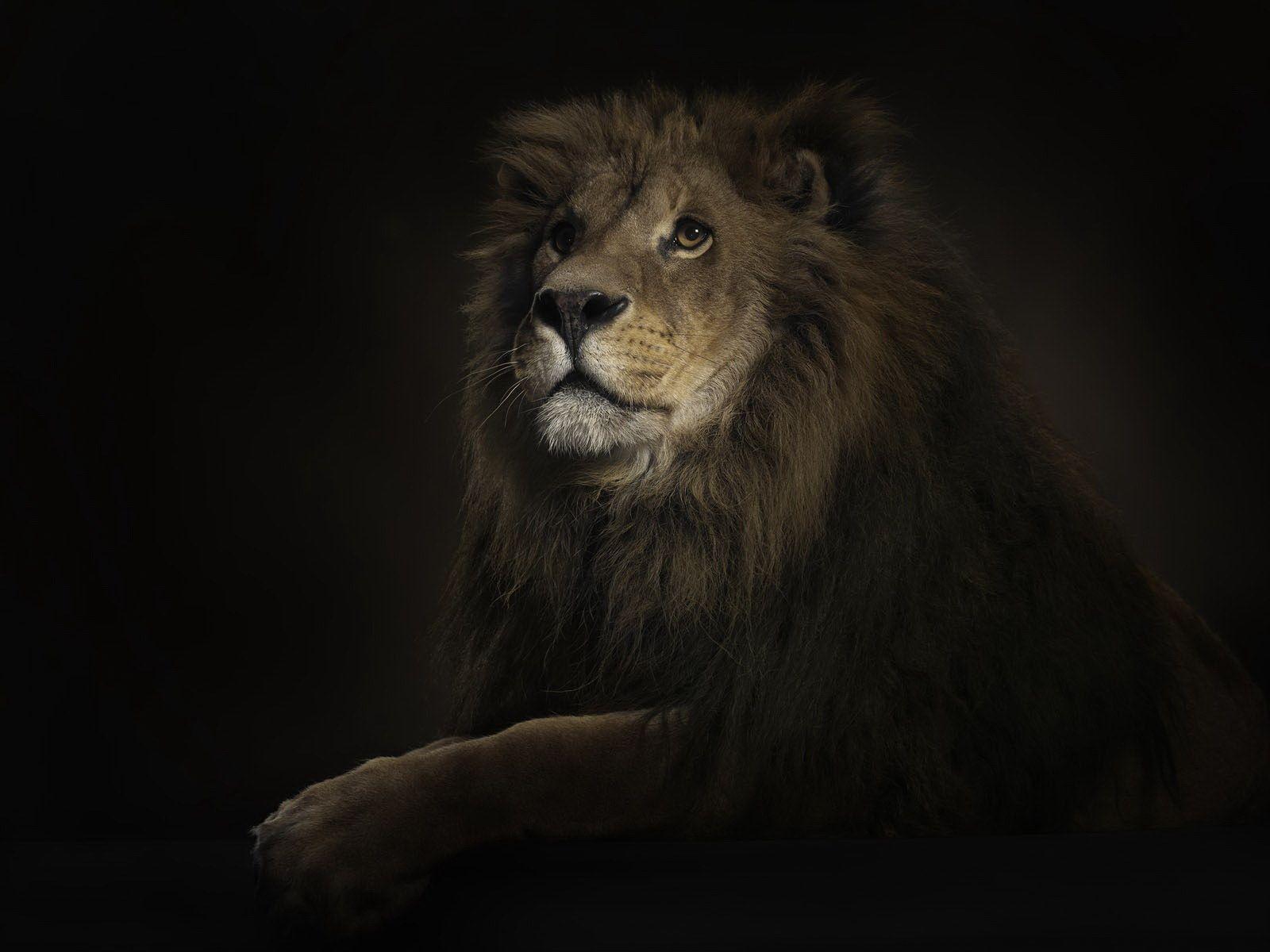 wonderful natural Lion Wallpaper