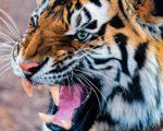 animal HD Tiger Wallpaper