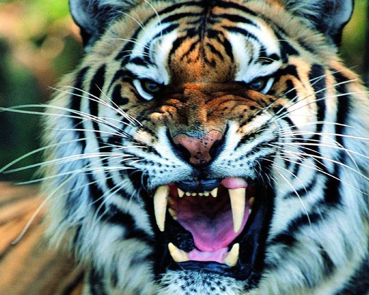 white and black HD Tiger Wallpaper