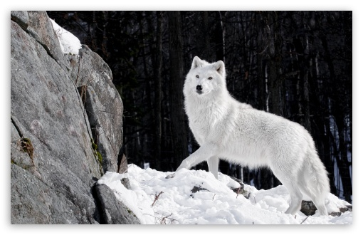 awesome White Wolf Wallpaper