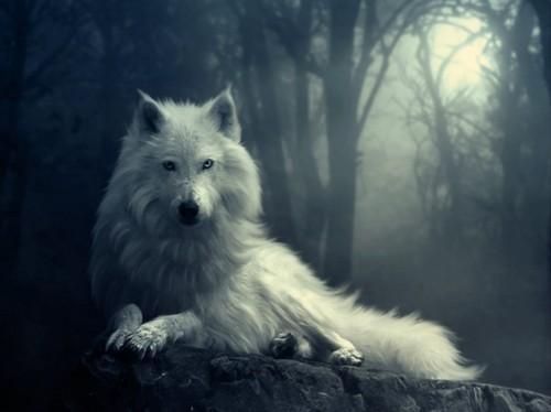 free White Wolf Wallpaper