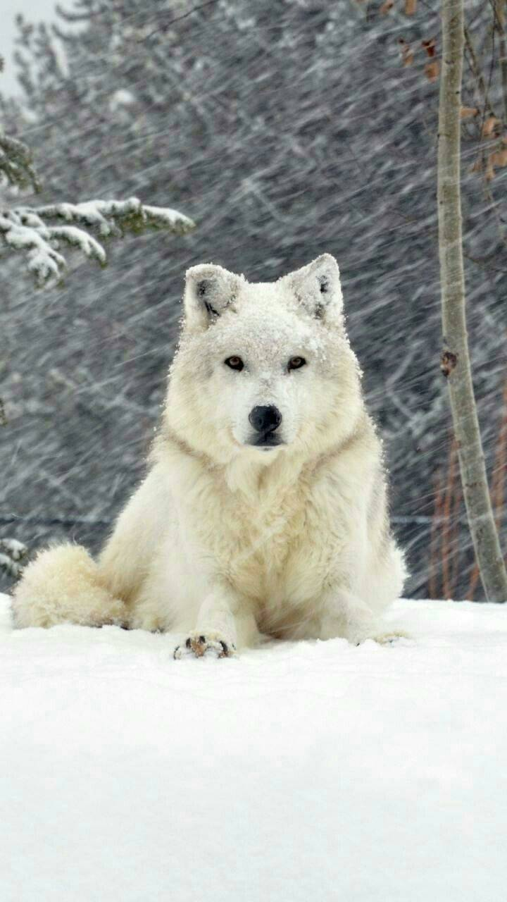 white White Wolf Wallpaper