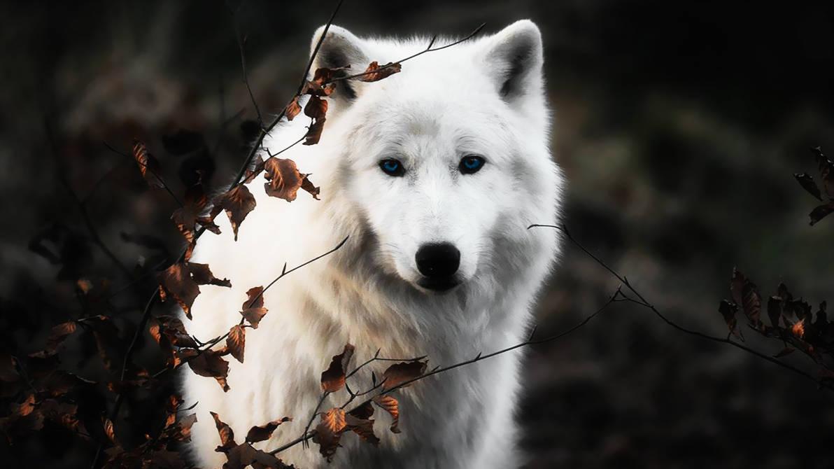 widescreen White Wolf Wallpaper