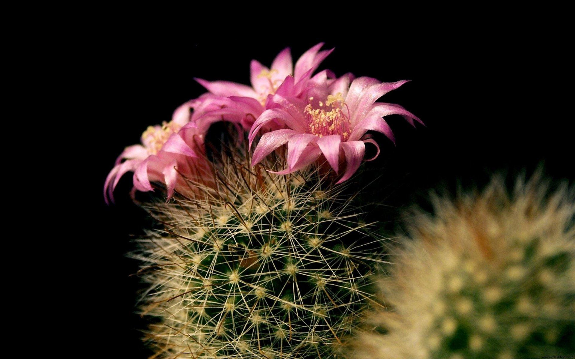full top Cactus Flower Wallpaper