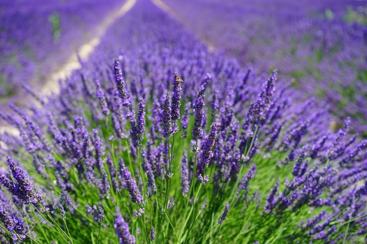amazing nature Lavender Flowers
