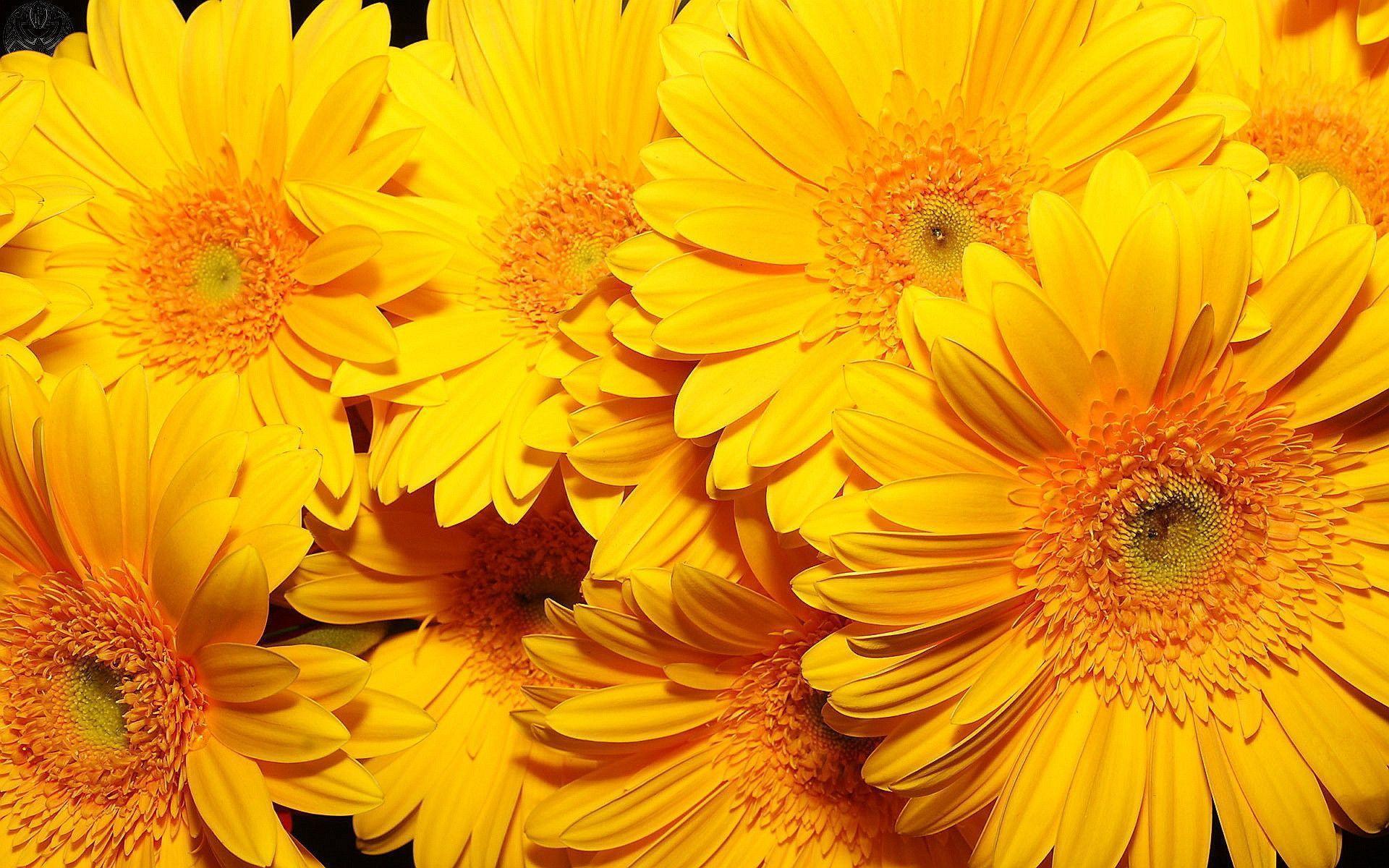 free nature Yellow Flowers Wallpaper