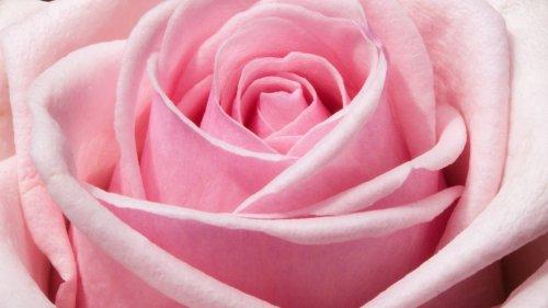 landscape nature Pink Rose Wallpaper