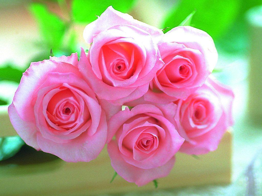 lovely nature Pink Rose Wallpaper
