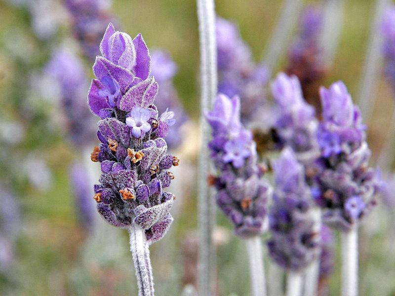 single Lavender Flowers image