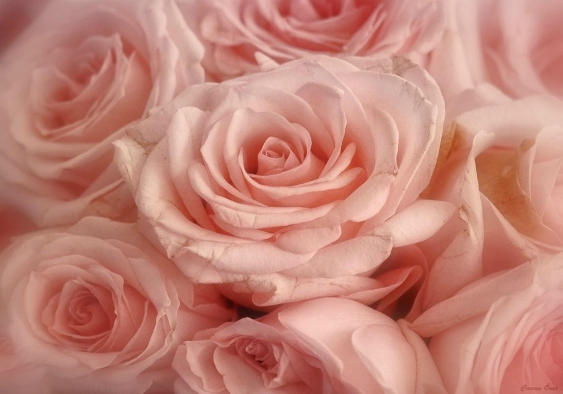 Pink Soft Roses Lot Rose Desktop Wallpaper Flower Fields