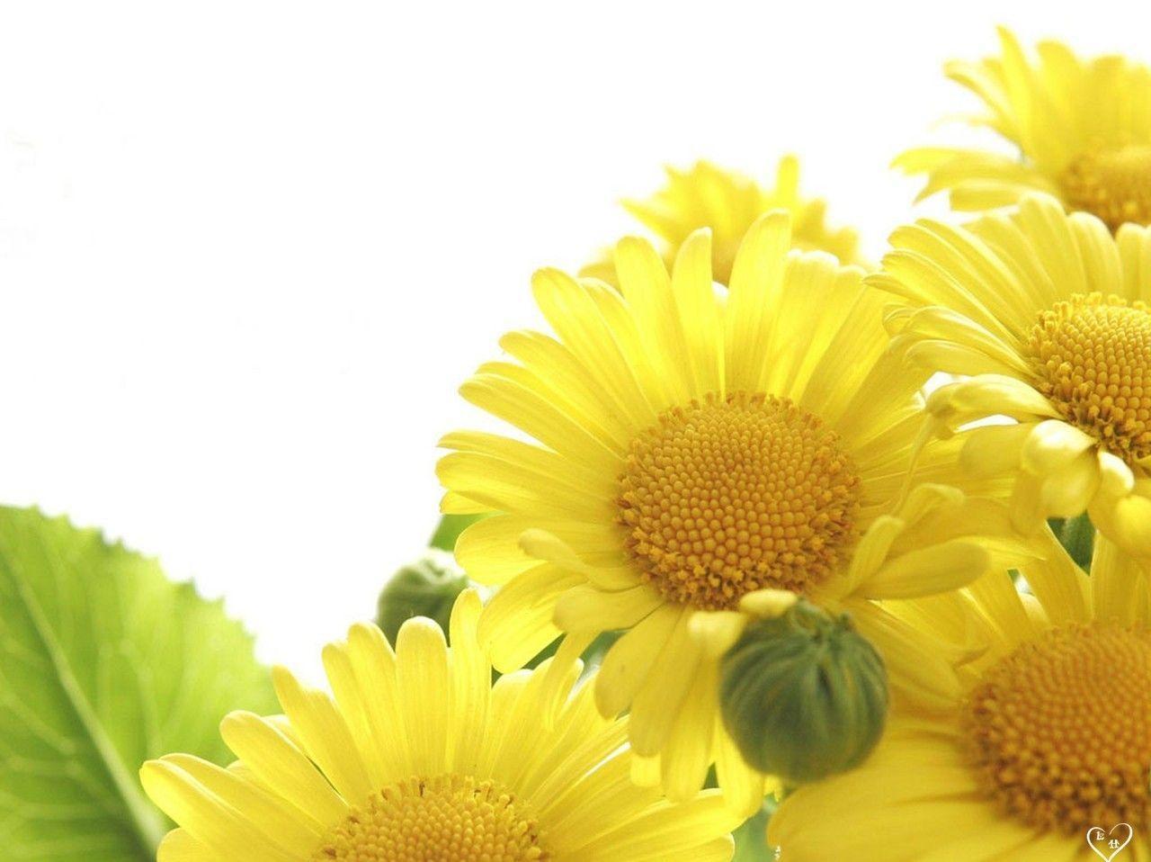 sunflower nature image