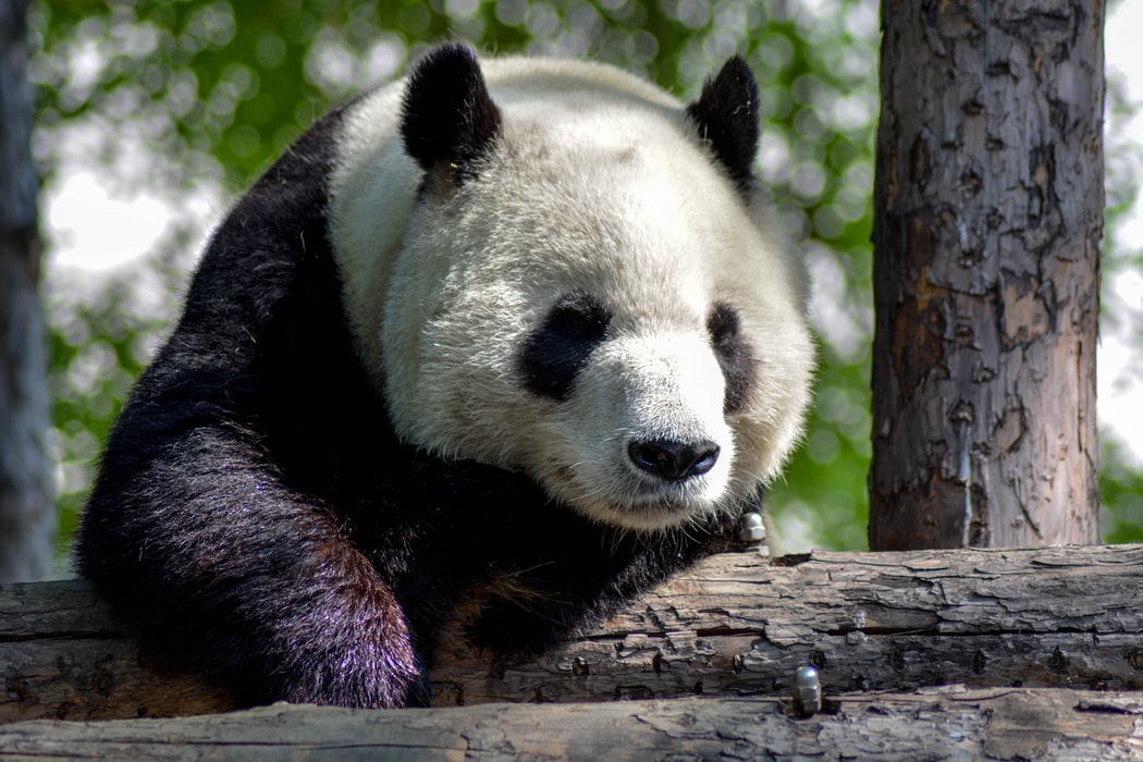 big face Panda Pictures