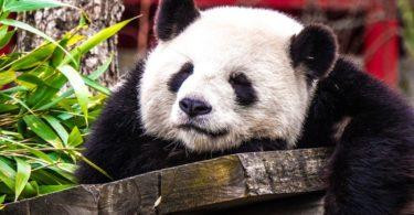 amazing HD Panda Wallpaper