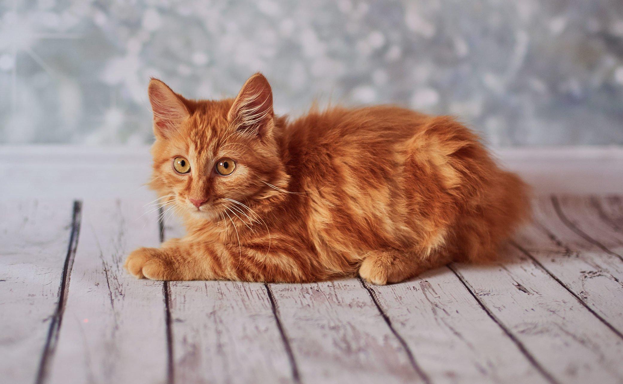 dark brown Cute Cat Images