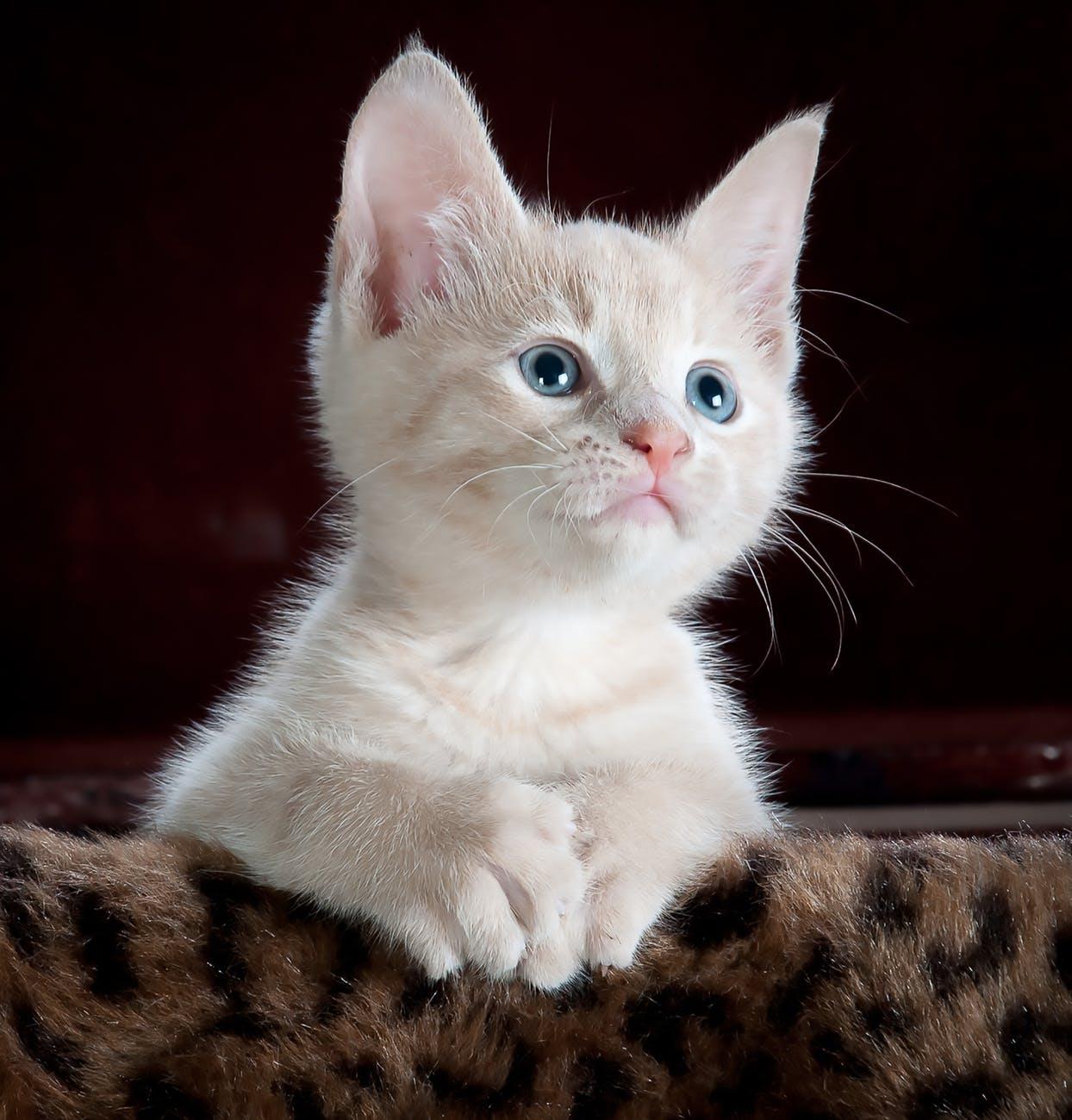 kitten White Cat Images