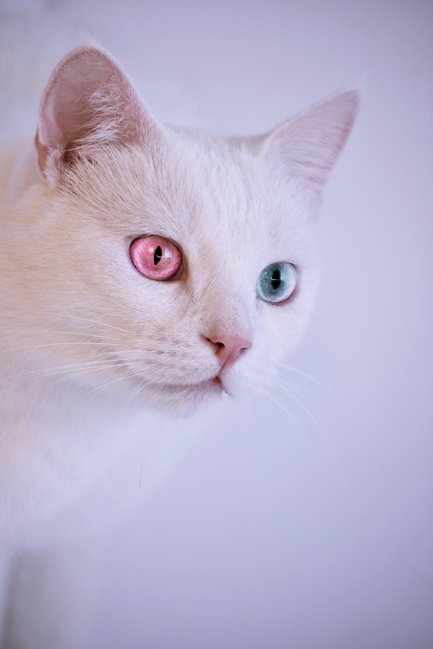 lovely White Cat Images