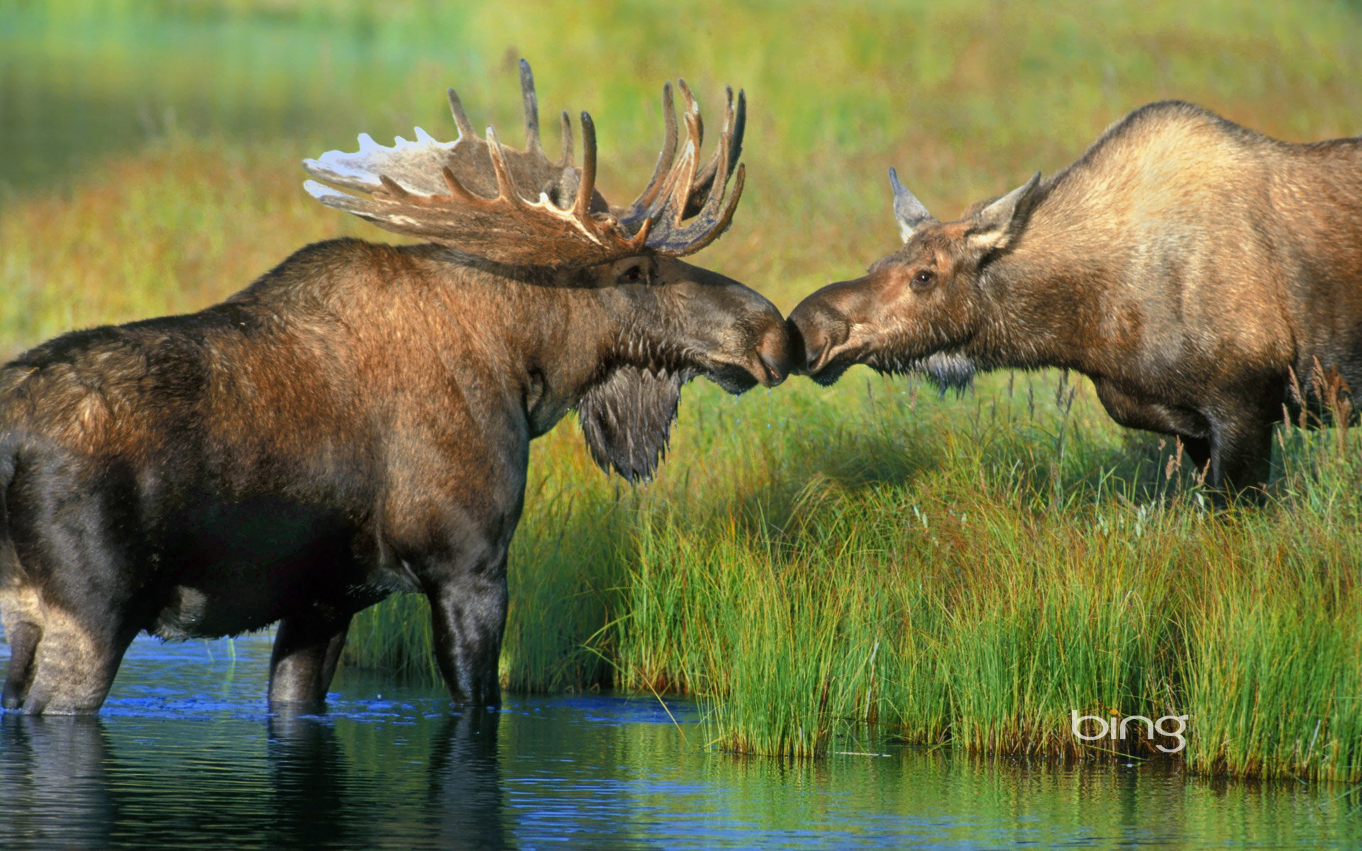 two Moose Wallpaper