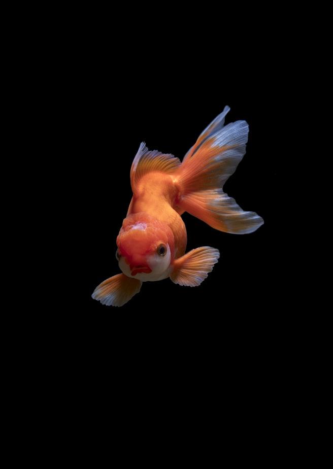 nice natural Goldfish Wallpapers