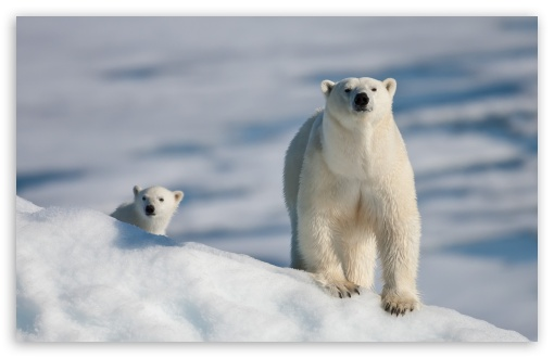 polar White Bear Wallpaper