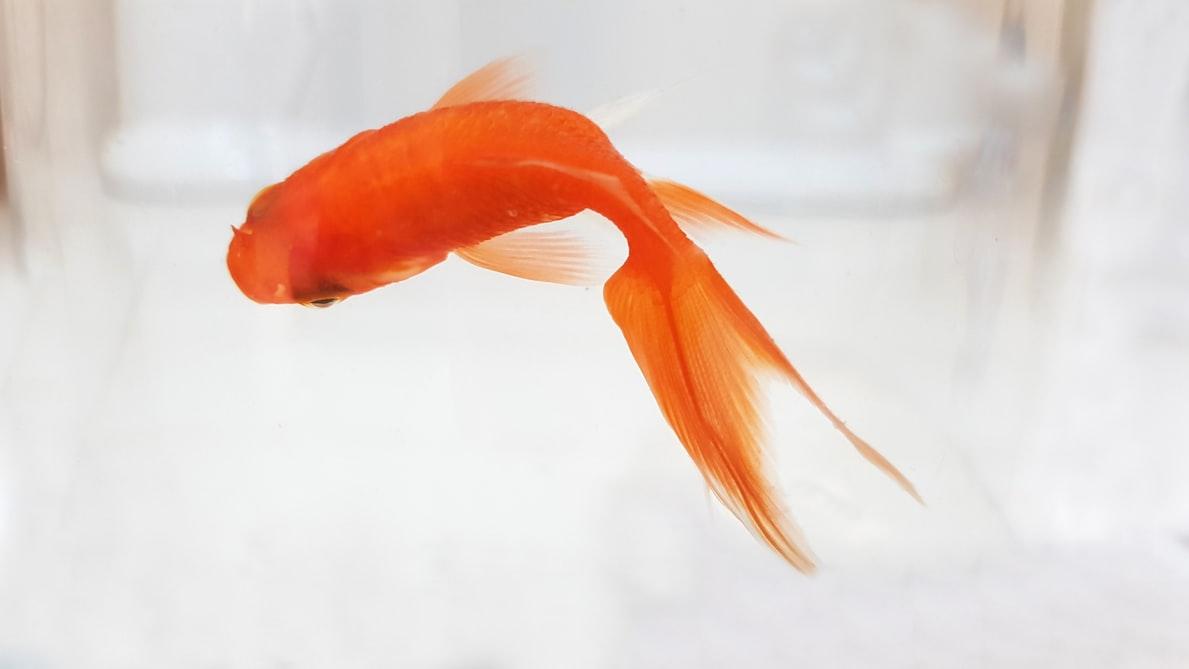 wallpaper of Goldfish