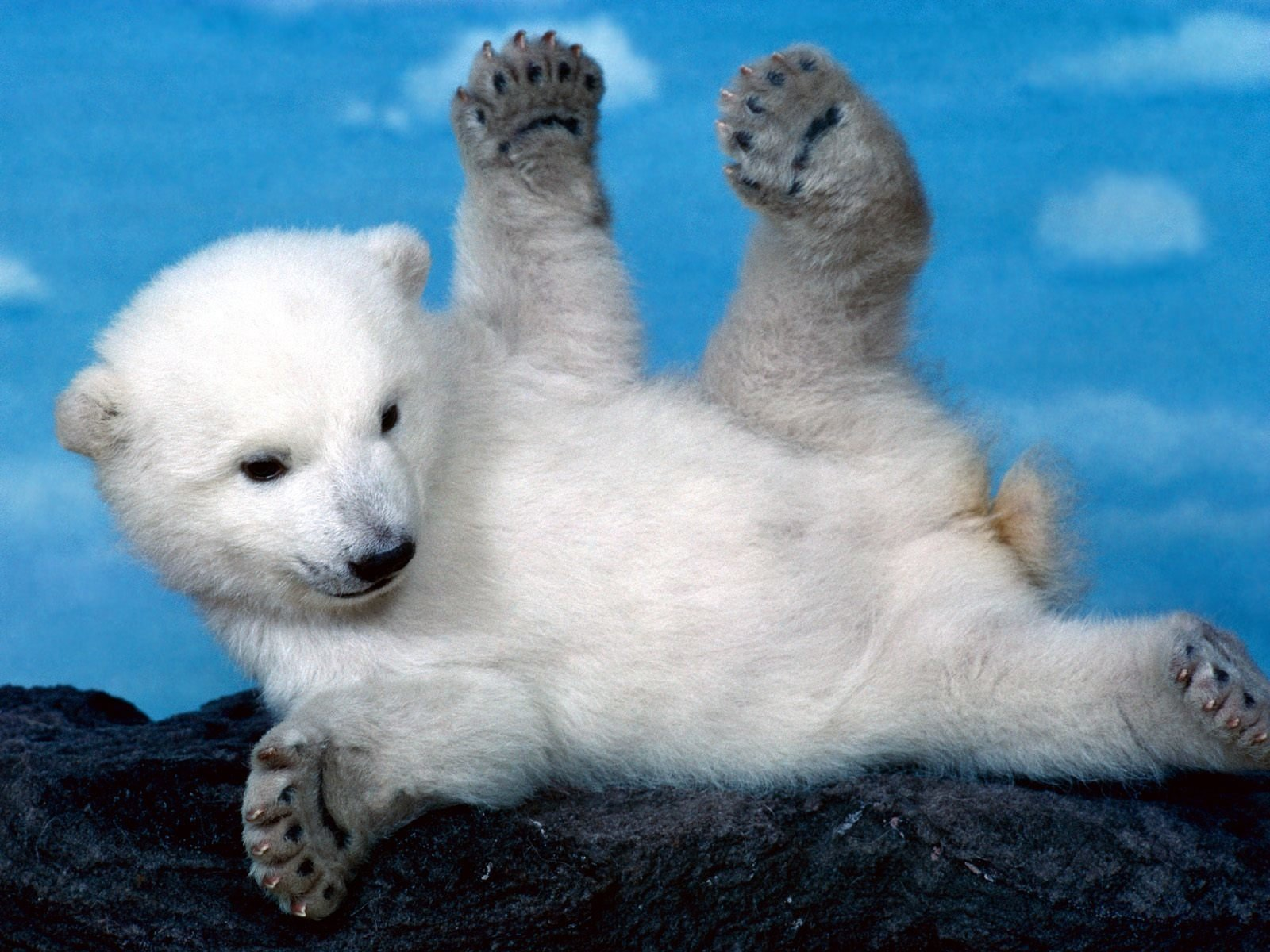 wonderful animal White Bear Wallpaper
