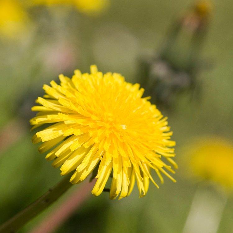 best Dandelion Flower picture
