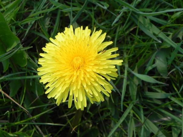 free natural Dandelion Flower Images