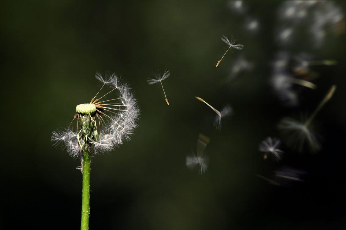 full top nature Dandelion Flower Images