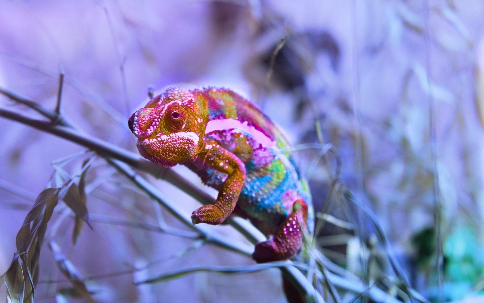 most popular Chameleon Wallpaper