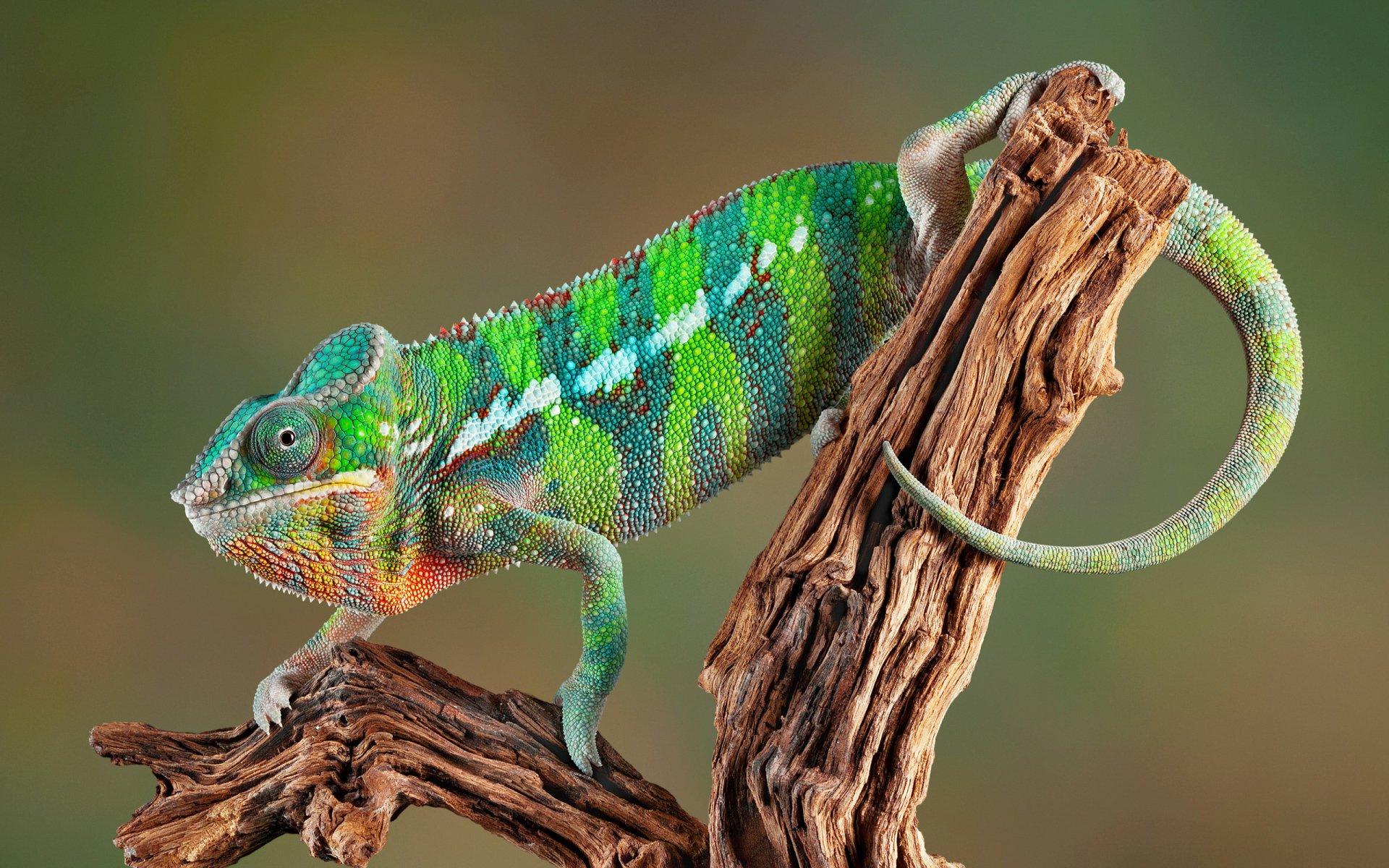 tree on Chameleon Wallpaper