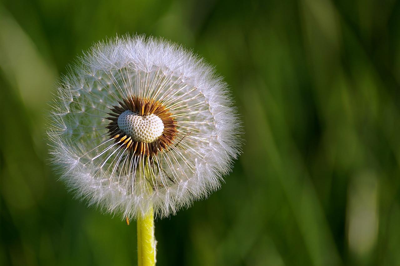 white Dandelion Flower photo