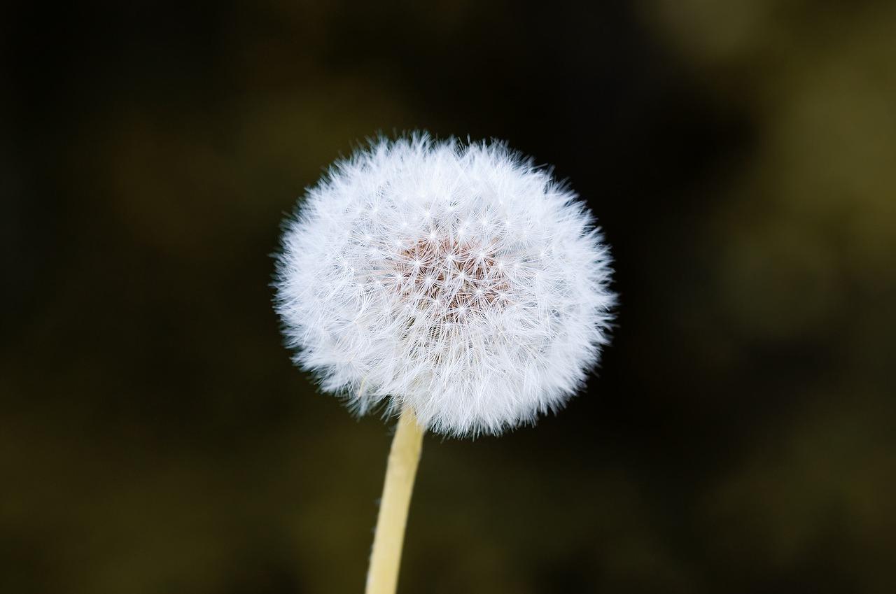 widescreen white Dandelion Flower Images