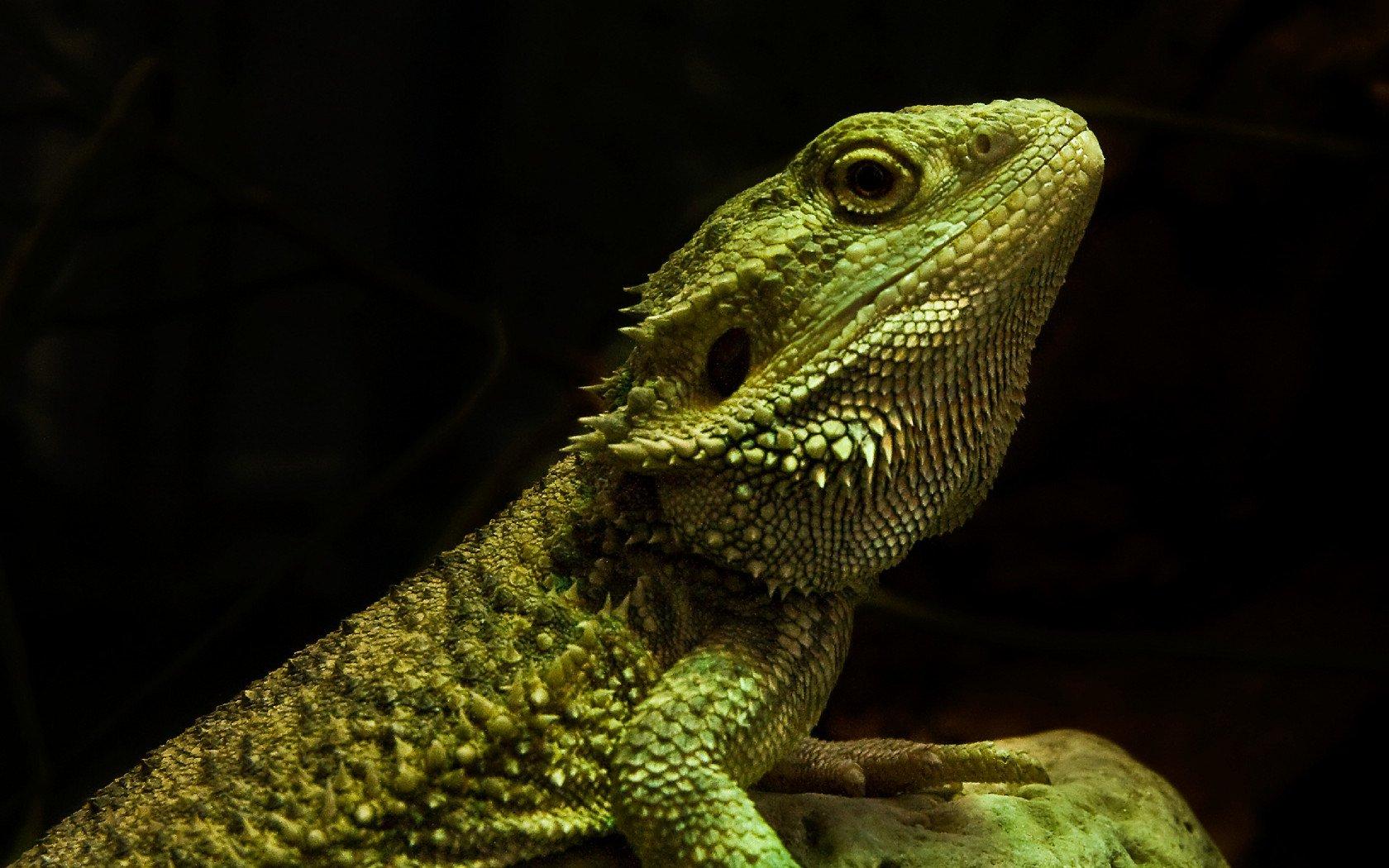 wonderful Lizard image